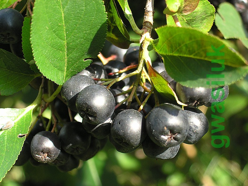 aronia melanocarpa black chokeberry genuine seeds from. Black Bedroom Furniture Sets. Home Design Ideas